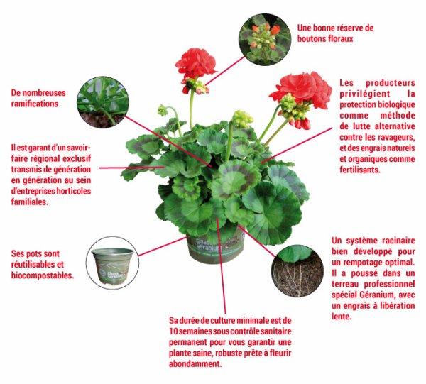 Géranium, remède tout simple et écologique pour clamer les piqûres de moustiques instantanément !