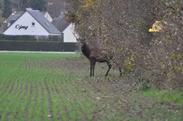 Mardi 25/11/2014. Forêt de Chantilly. (4)