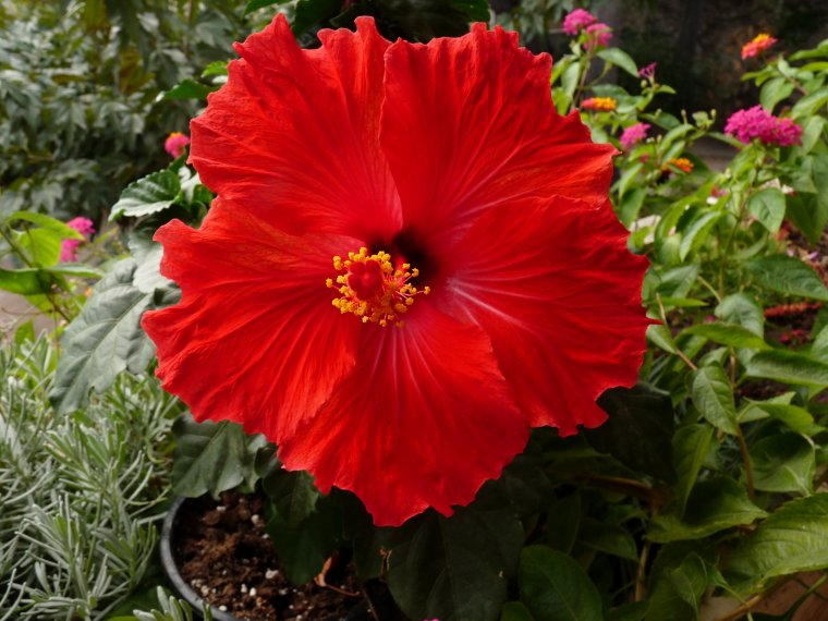 Je viens de rentrer mon hibiscus car il craint les nuits fraîches