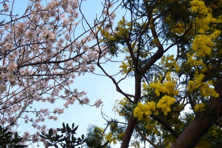 21 02 2014 ouvertures des coms sur le mimosa et les fleurs d'amandiers