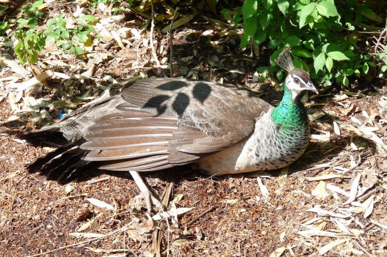 Mercredi au Parc Borely ,j'ai mangé à coté d'un Paon , deux autres étaient sur les arbres