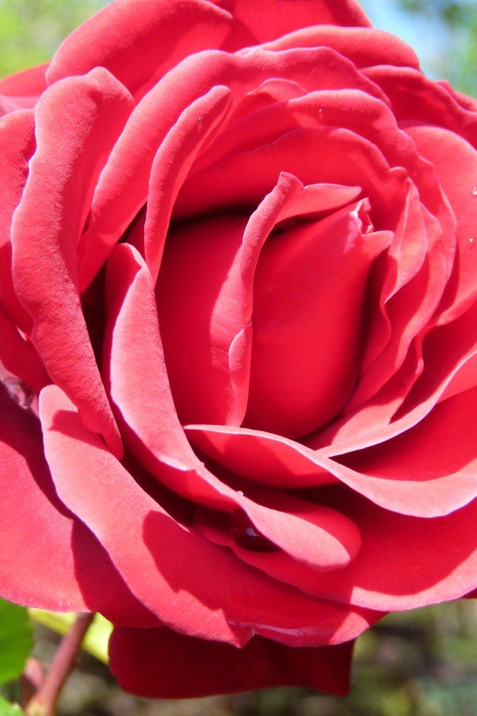 Amis et amies les roses c'est pour vous , bon week end - Gros bisous .