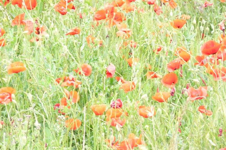 à mon avis les fleurs  de coquelicots représentent bien la liberté ( photos Pierre Paul )