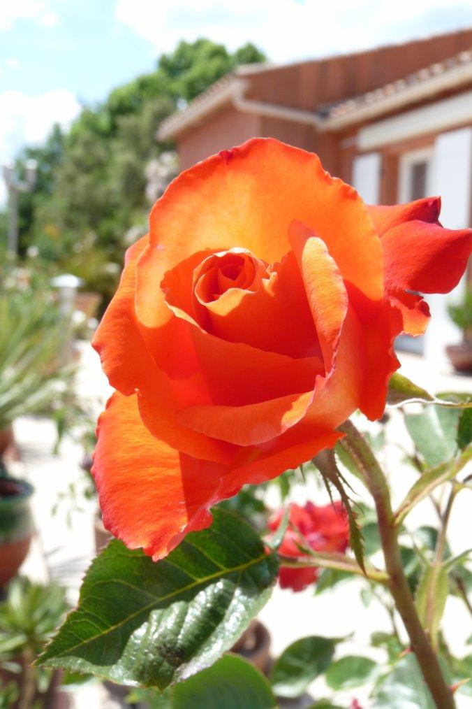 à coté de la roseraie ,un Paon m'a montré sa beauté - Photos Pierre Paul  1