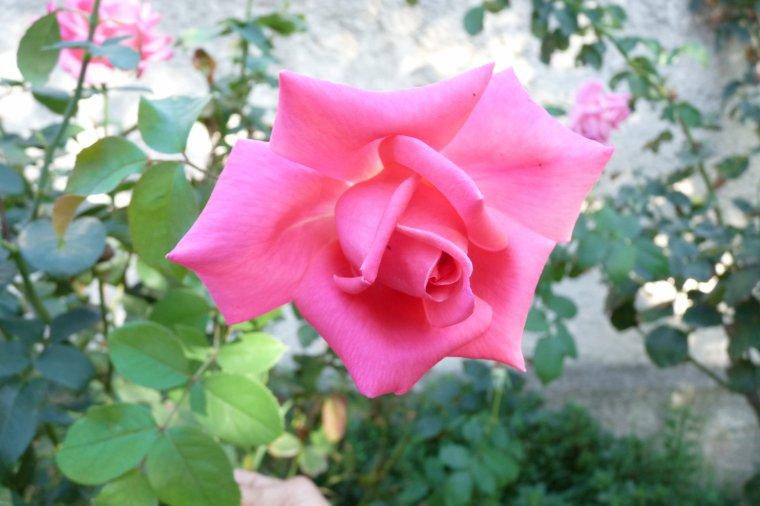 Chez nous à L'Estaque il y a encore des roses ( prenez si vous voulez )
