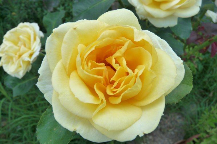 Même avec la canicule il y a de belles roses ( blog au ralenti pour l'été )