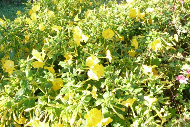 Plumbago,Rose,Belle de  nuit nos fleurs d'automne
