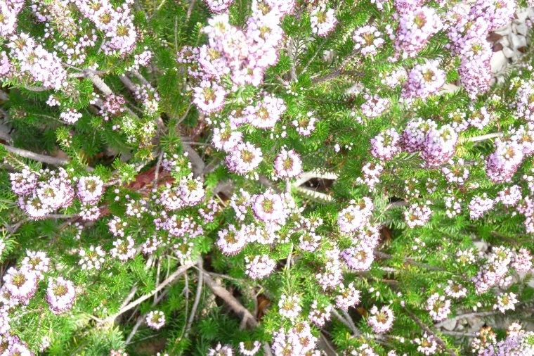 J'aimerai savoir le nom de ces fleurs ( photo  prise dans les jardins du  fort Saint Jean )