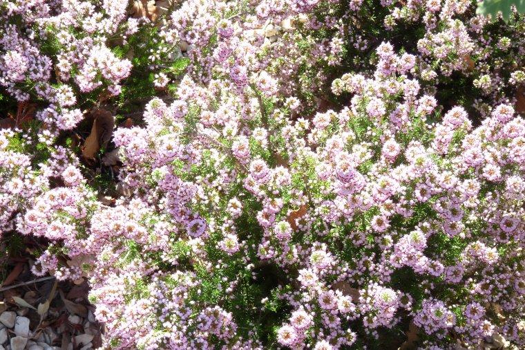 Dans le jardin en hauteur du fort Saint Jean , de belles fleurs