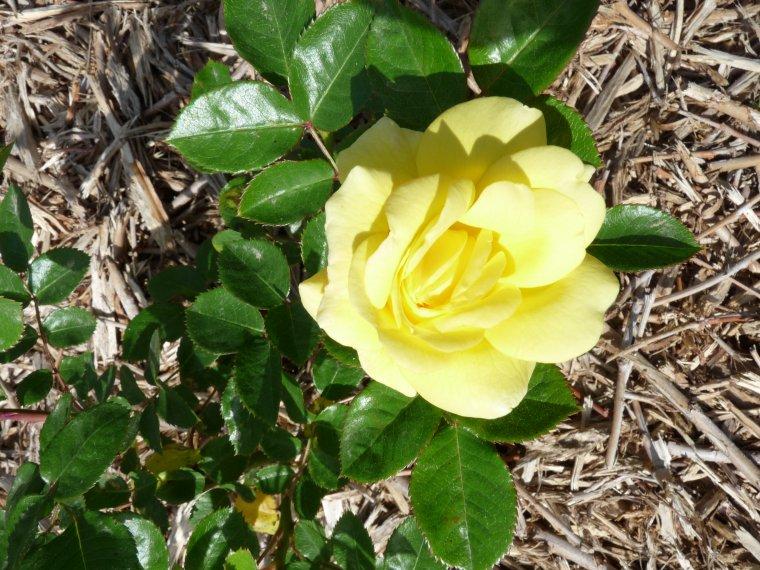 J'adore les roses ( c'est pour vous tous et vous toutes) photo Pierre Paul