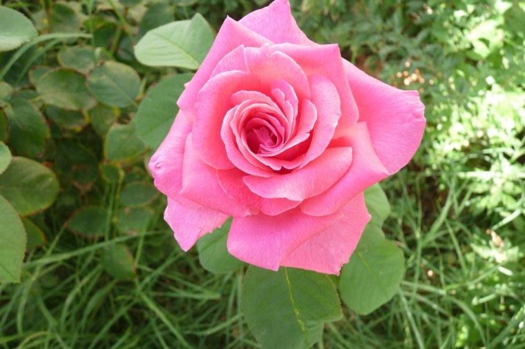 Après la jaune ,voici la rose (photo Pierre Paul ,pas de maintenant )