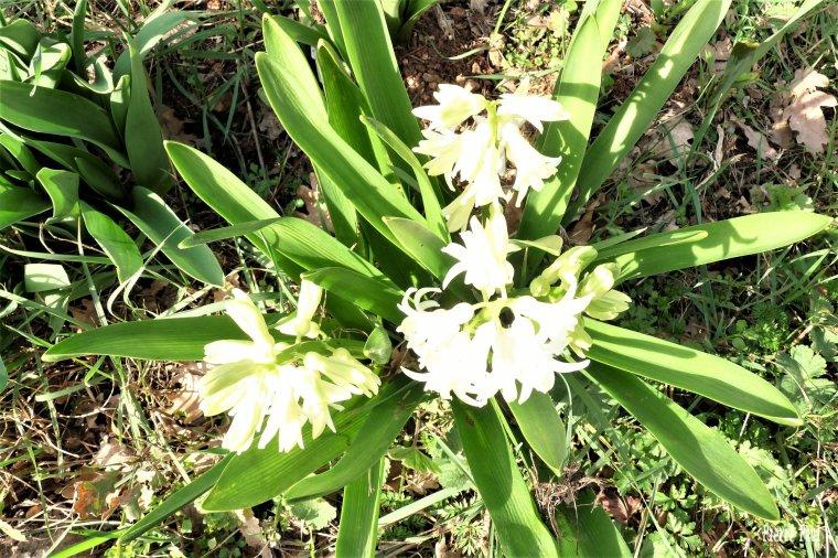 Jacinthe de mon jardin - Amis et amies Bonne semaine -Gros bisous de Pierre Paul