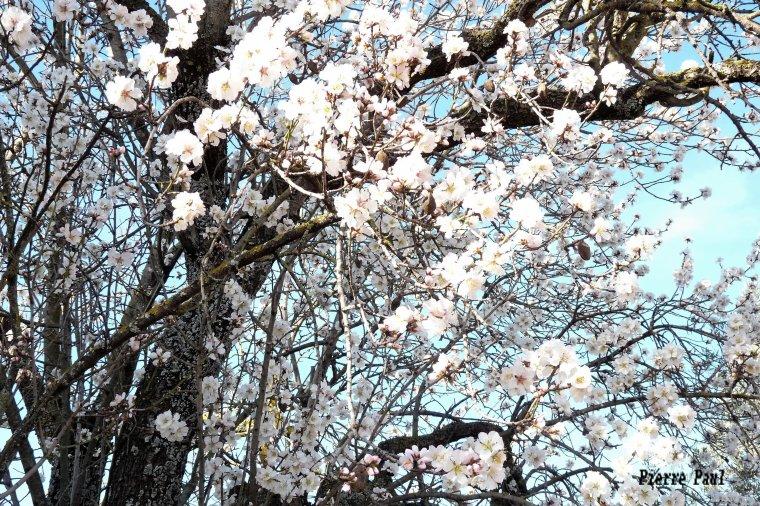 Fin février , après le mimosa ,c'est le tour des amandiers