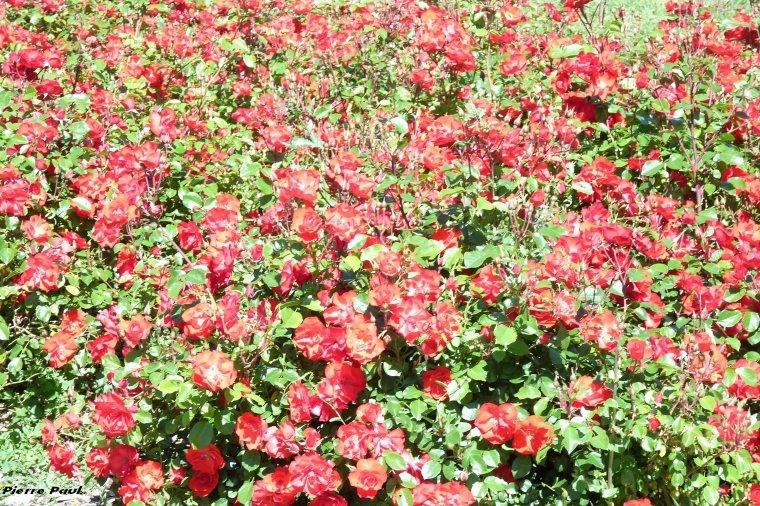 8 MAI 1945  -8 MAI 2017  fête de la victoire- le 9 mai roses au parc Borely