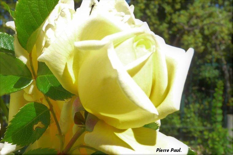 Roses du 9 mai et fête de la victoire du 8 mai ( 1945 - 2017 )
