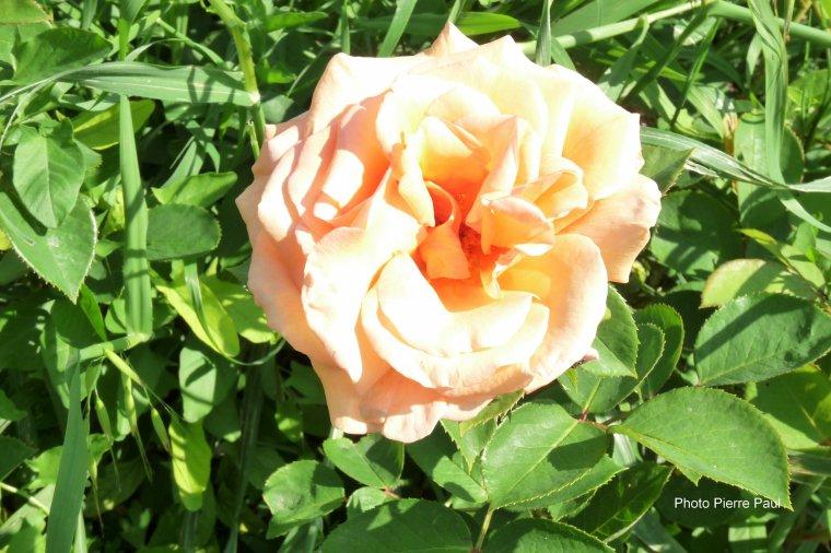 Des roses pour vous tous ( Amis , amies et famille ) Gros bisous de Pierre Paul