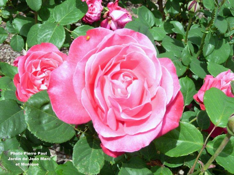 Les roses sont toujours admirables