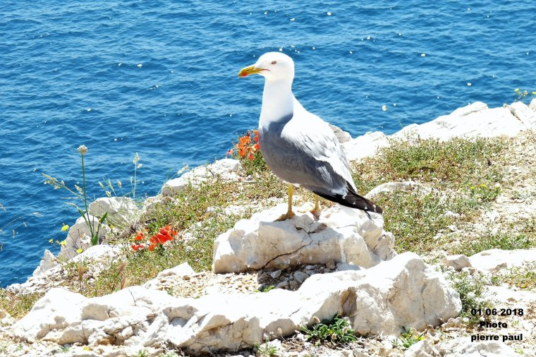Un Gabian  sur les îles du Frioul à Marseille