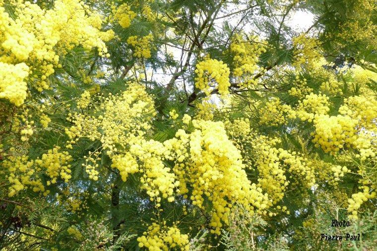 Très joli texte de Chantal Féréol  ( les mimosas de Provence côte d'Azur