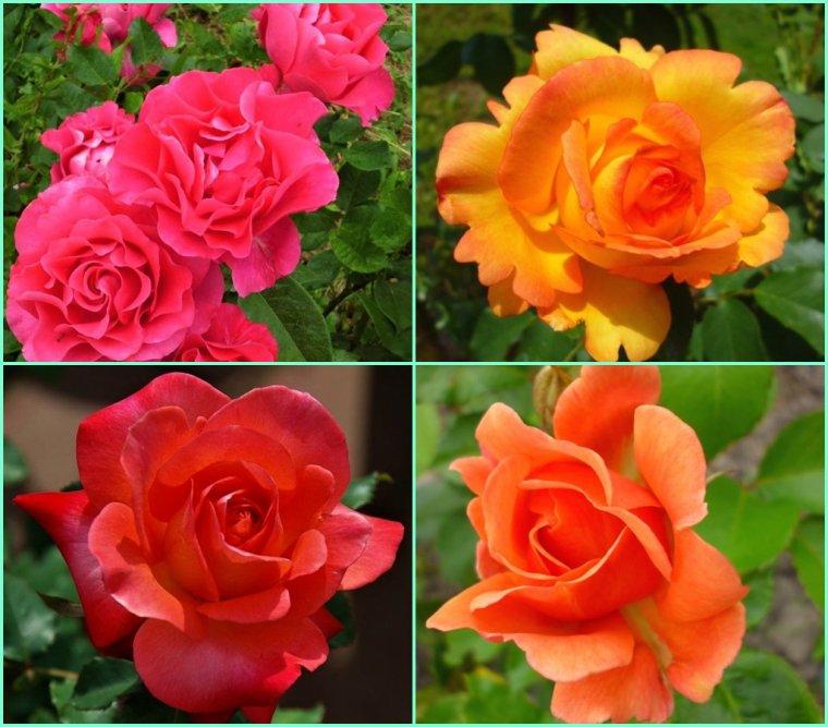 Une bonne semaine avec de jolies roses - Gros bisous de Pierre Paul