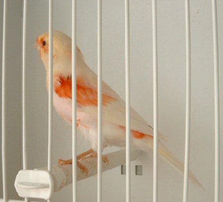 jeune mâle rouge mosaïque