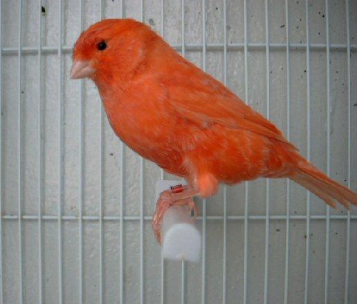 N°1 jeune mâle rouge schimmels