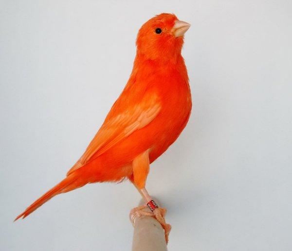 N°44-femelle lipo rouge intensif