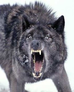 Wolf Attacks on Humans on the Increase