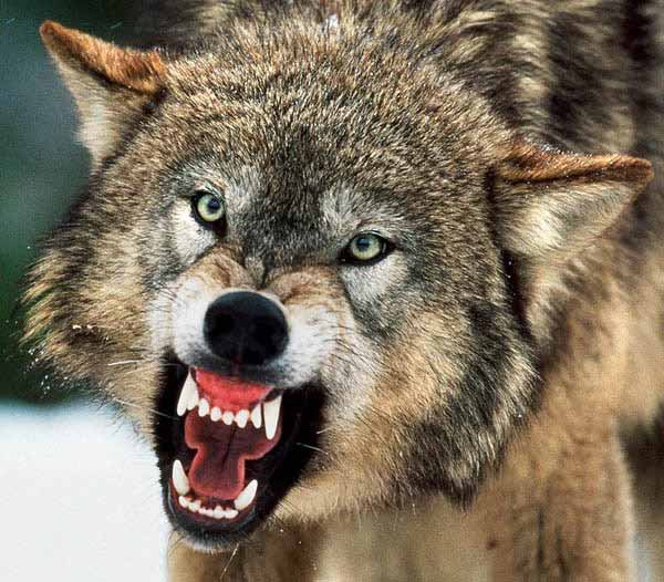 When Wolves Attack!