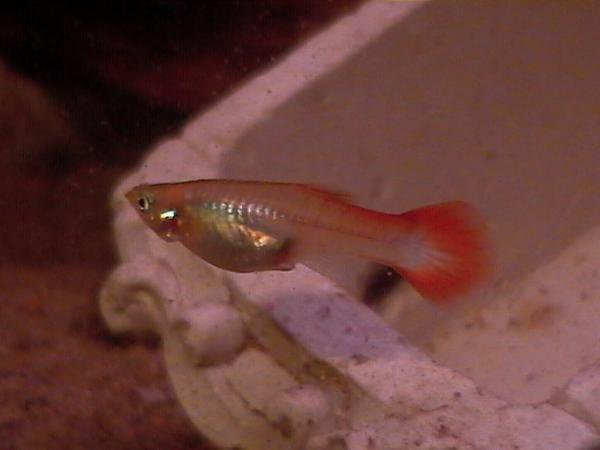 guppy femelle rouge