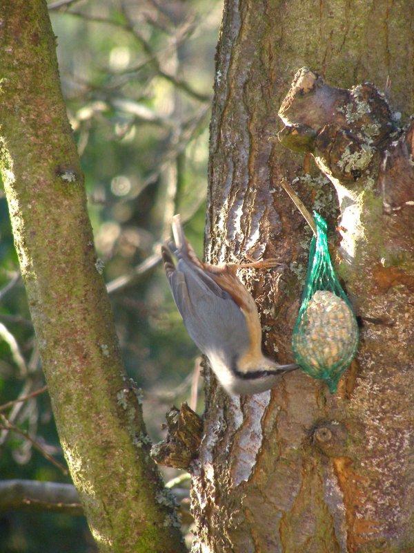 Journée des oiseaux, sitelle en visite