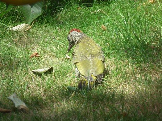 Notre visiteur PIVERT dans le jardin
