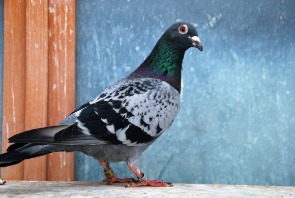 les vraies stars,ce sont les pigeons,,pas les coulonneux...