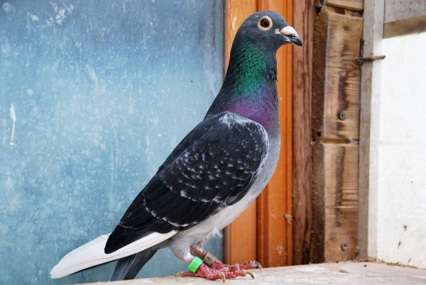 les vraies stars,ce sont les pigeons,,pas les coulonneux... (la suite)