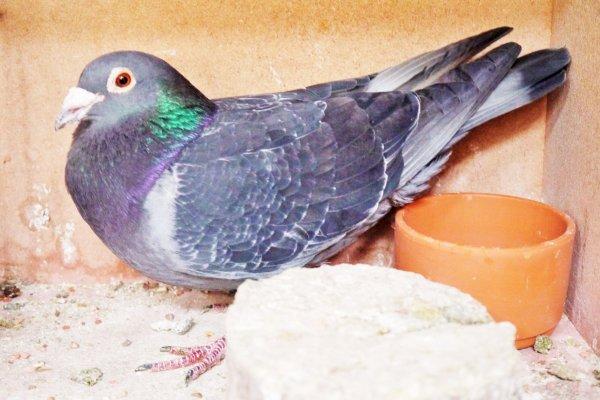 88 pigeons  pour Vierzon fédéral  et St Just sur eure tres tres difficiles...
