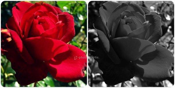 Rose Rouge. ( Originale et à effet Noir & Blanc )
