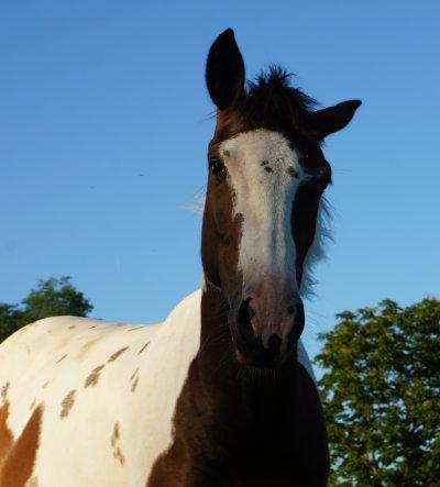 Présentation des chevaux ↓