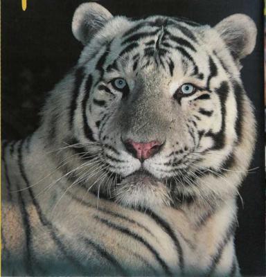 Super Le tigre blanc - Les espèces en voie de disparition. BY11