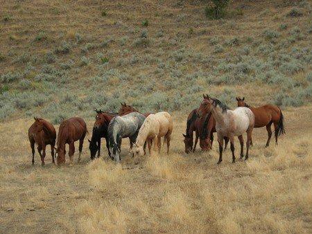 troupaux chevaux