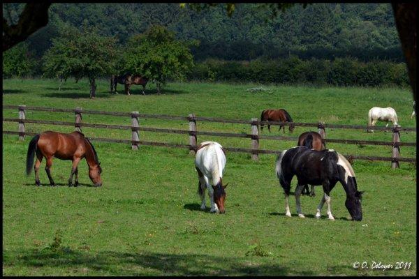 chevaux aux prés