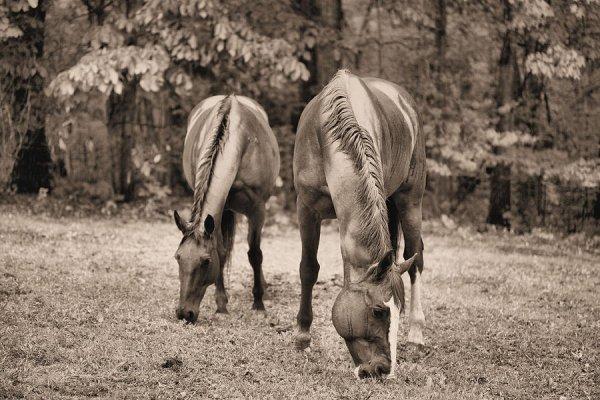 chevaux aux près