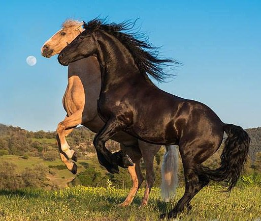 couple chevaux