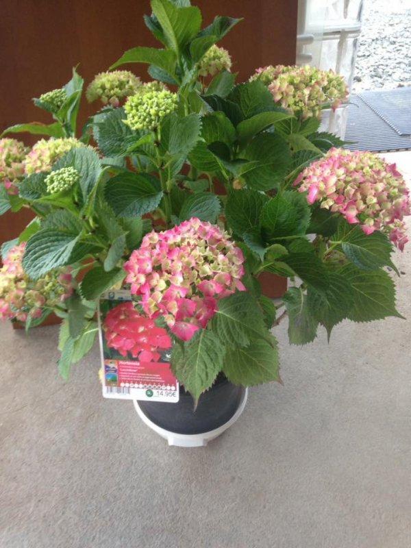 hortensia j'adore cette plante