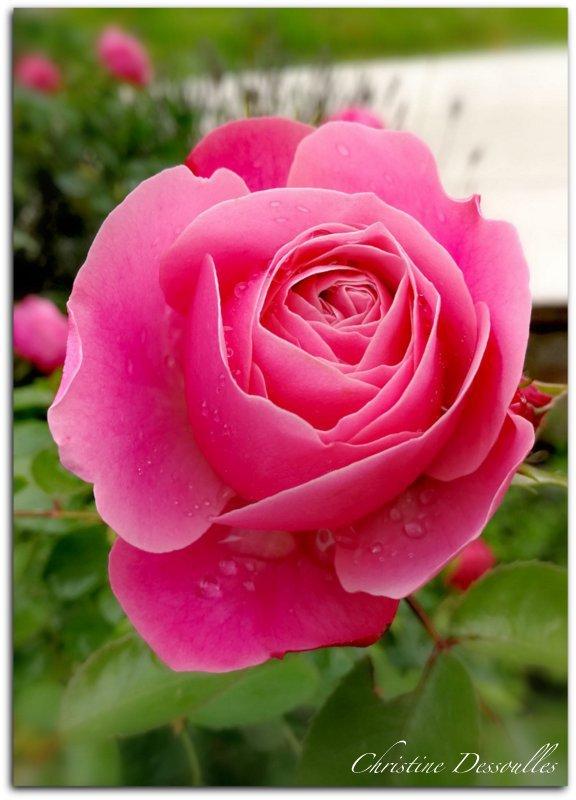 Mon rosier ce matin de juin 2019