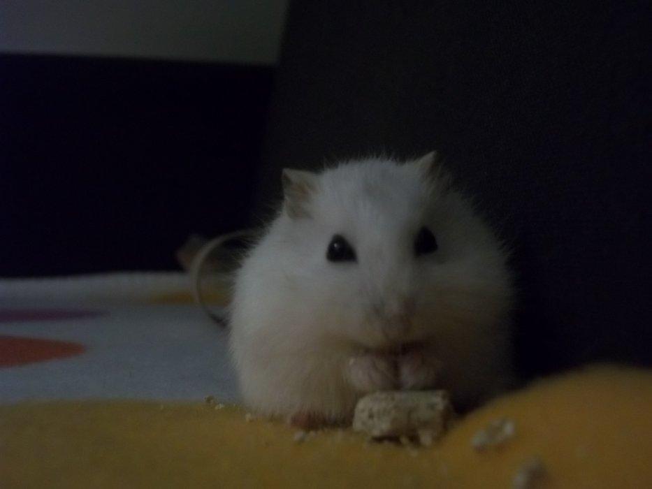 la vie de bounty mon hamster <3