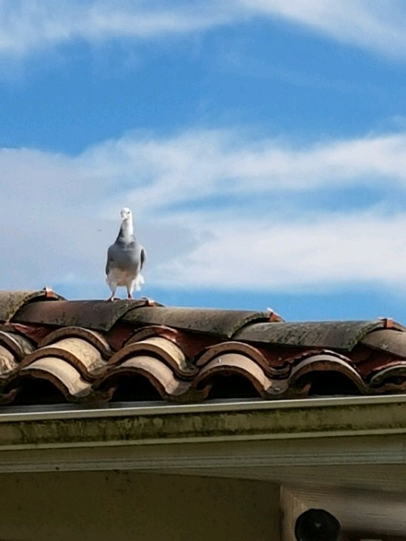 Quelque nouvelles des pigeons