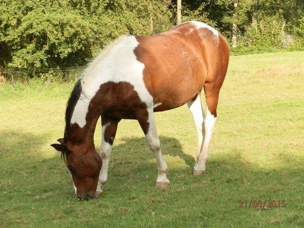 Cheyenne, superbe jument paint-horse.