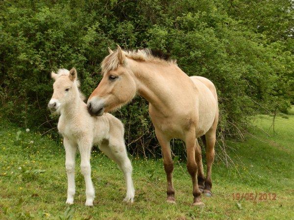 Naissance 2012, Nindjaro au Bois le Miot est né le 19 mai 2012 par Lyckängs Tempo et Inka