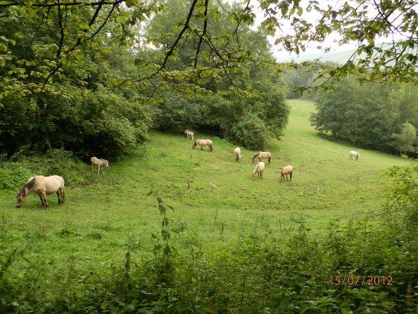 """Une partie du troupeau """"Au Bois le Miot"""" à la mi-juillet 2012"""