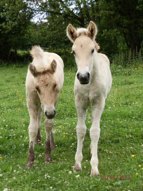 """Oubuki au Bois le Miot, poulain mâle classe """"A"""", né le 3 juin 2013, par Ubuki du Val de Lienne et Gidar van den Bosdries"""